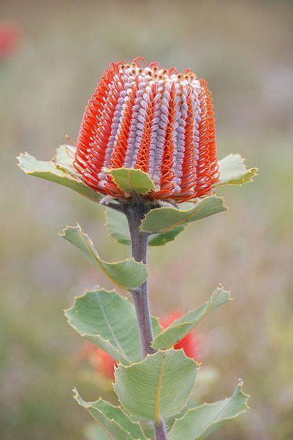 Banksia - my home, Australia