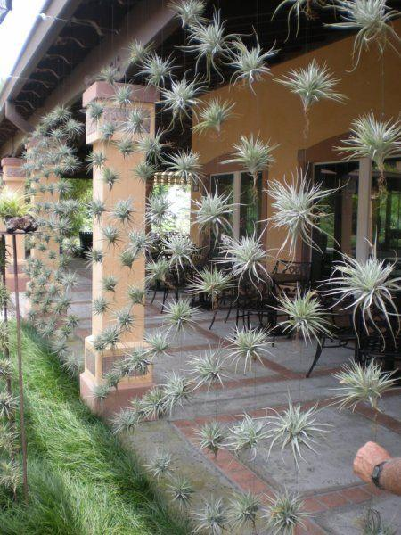 Amazing airplants. what an unusual idea. those plants grow on light ca