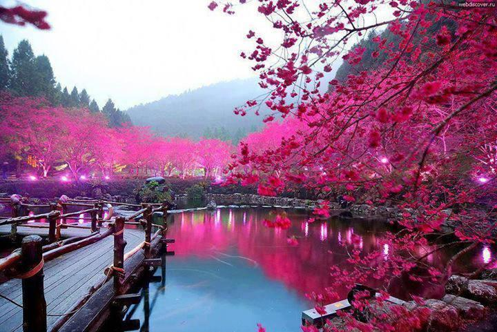 Awesome Lighted Cherry Blossom Lake (Sakura, Jap