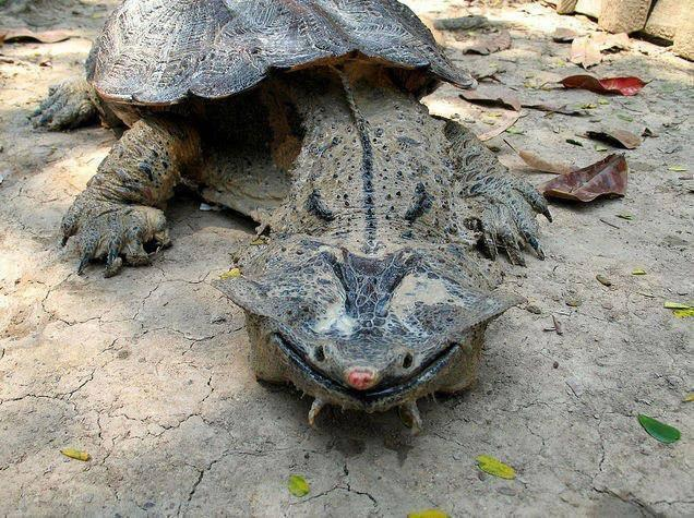 The amazing and odd-looking Mata Mata Turtle