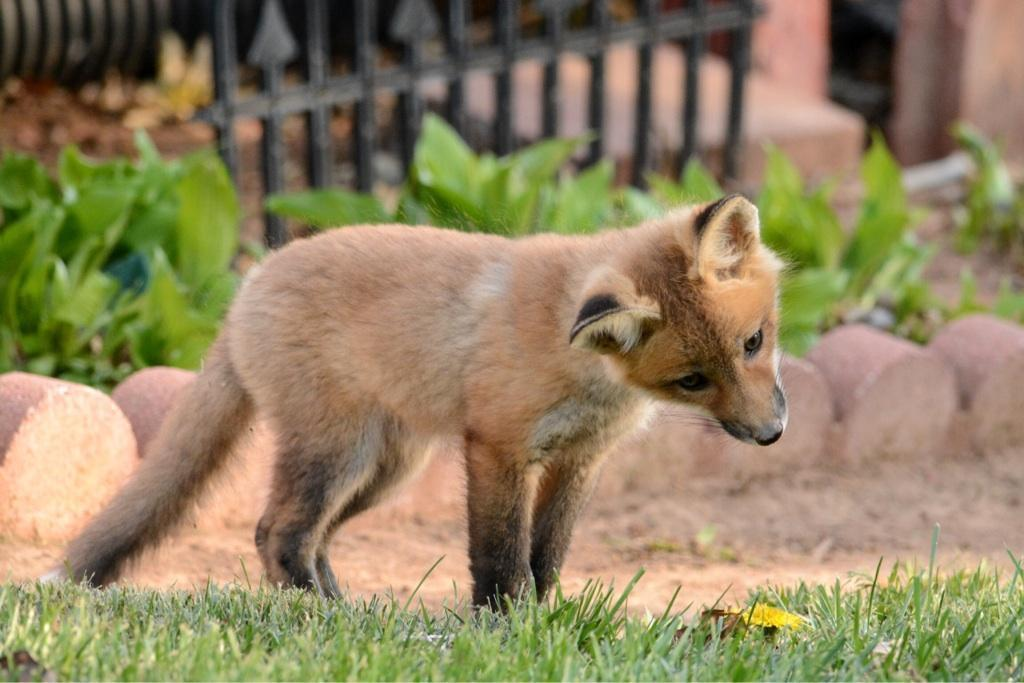 A curious fox - pretty aww to me! In a friend's backyard in KS