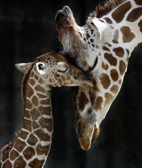 Mother and baby giraffe…