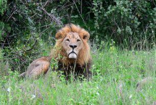 lion_pic_