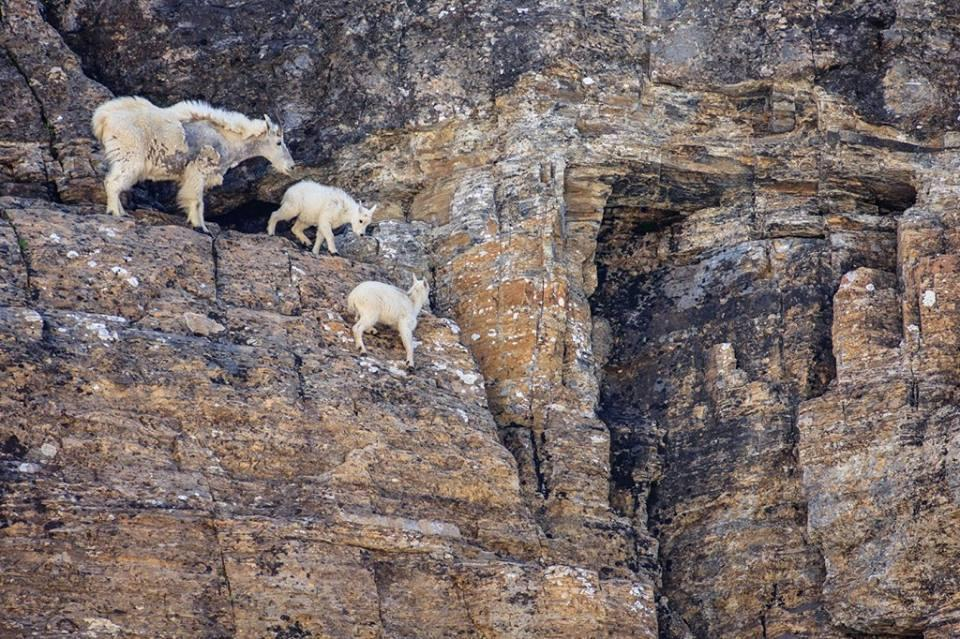 Goat with kids on mountains