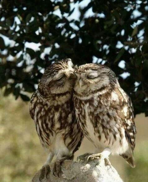 Mr. Owl a'courting