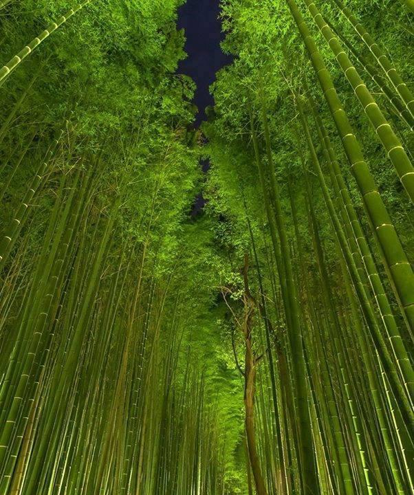 Bamboo Forest at Night