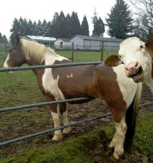 Dont know what's funnier, the cow photobombing a horse or the fact th