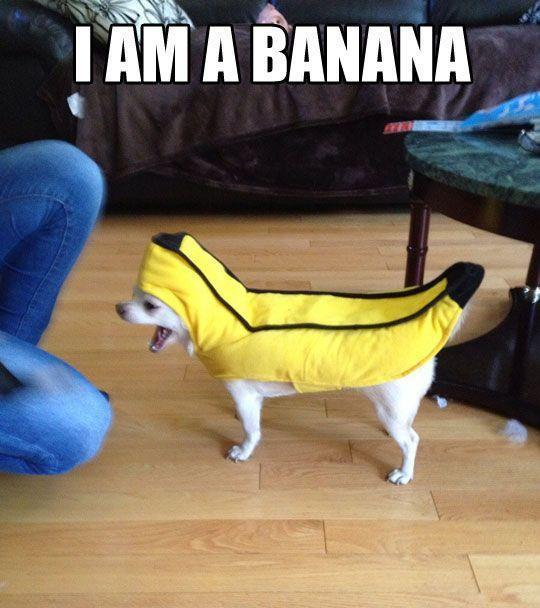 funny-little-dog-banana-costume