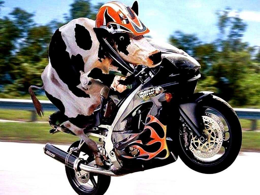 funny cow on bike....