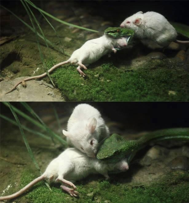 mouse saving his friend from snake