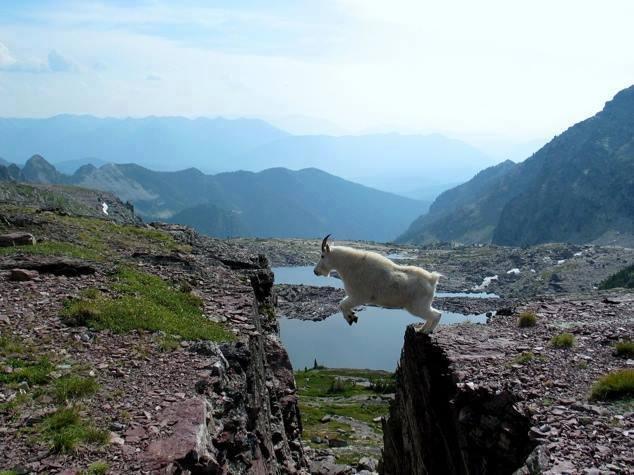 Goat jumping from one cliff to another on mountain
