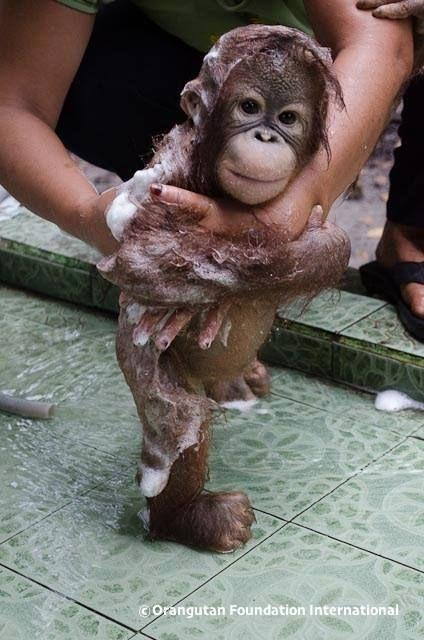 A baby orangutan having a bath! Toooo cute!!!