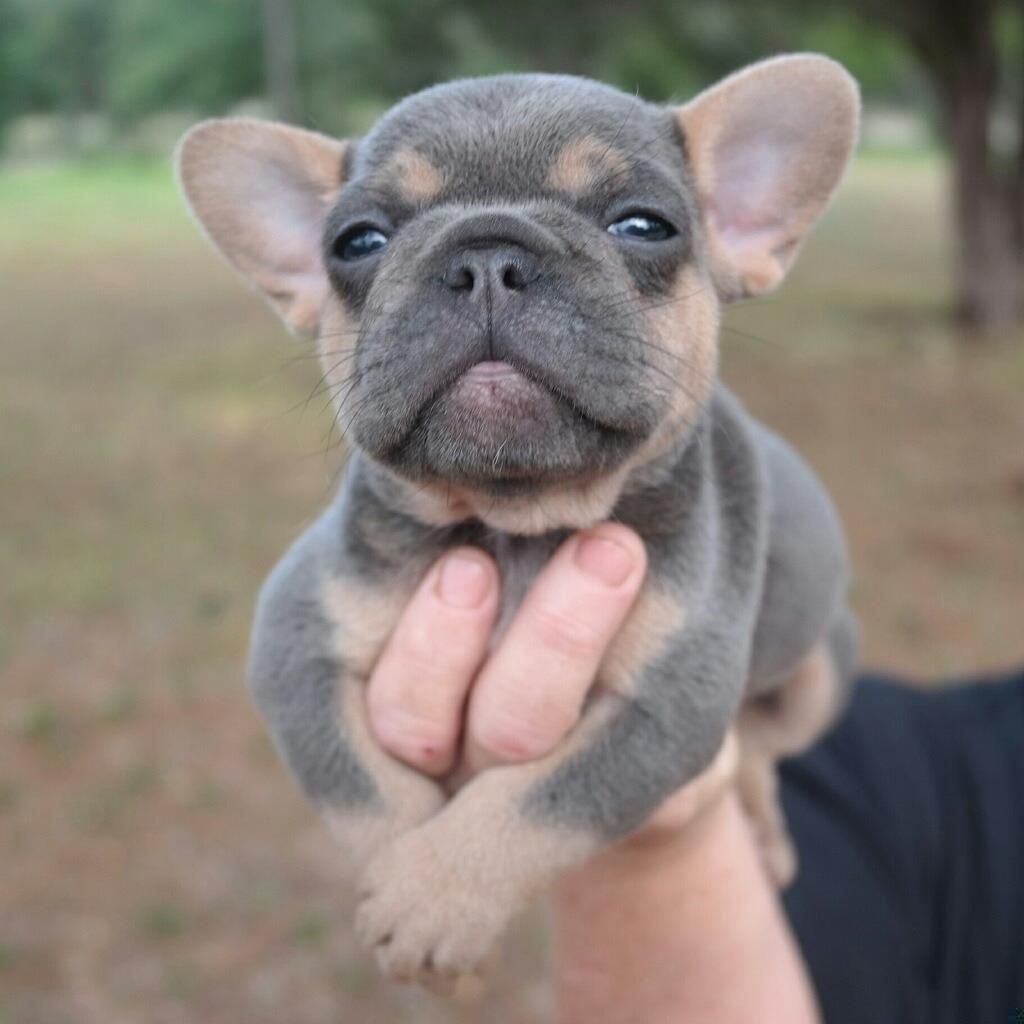 My friend's French Bulldog puppy is quite photogenic