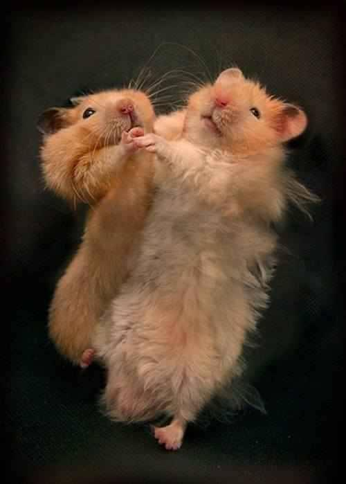 Funny Mice Couple Dance