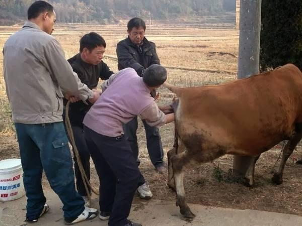 Funny Cow Operation in China