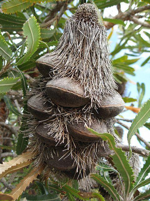 Unopened Banksia follicles