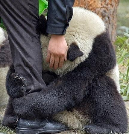 Panda clinging to a police officer after an earthquake...can I trade p