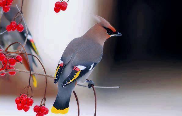 Beautiful Cedar Waxwing bird