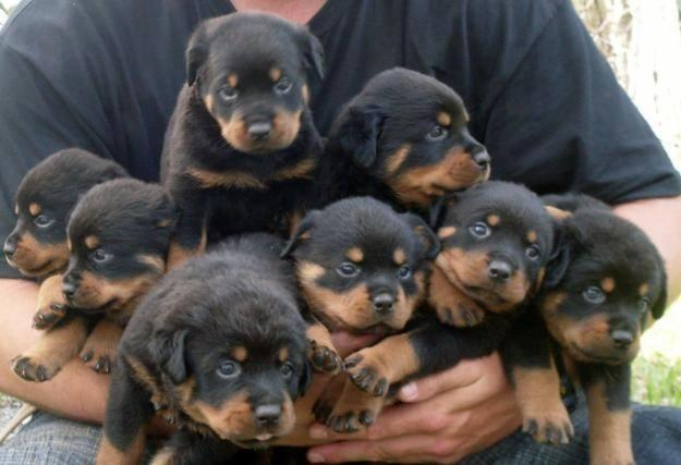 Cutest Rottweiler Puppies Ever
