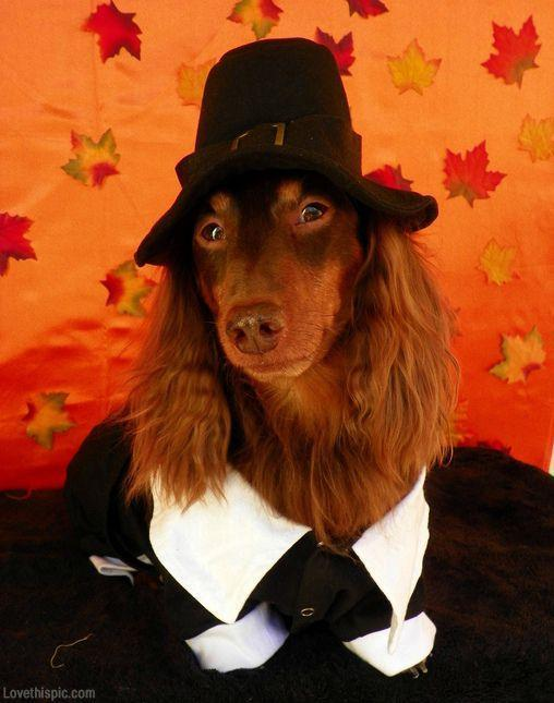 Pilgrim dog cute animals autumn halloween costume ideas dog costumes,