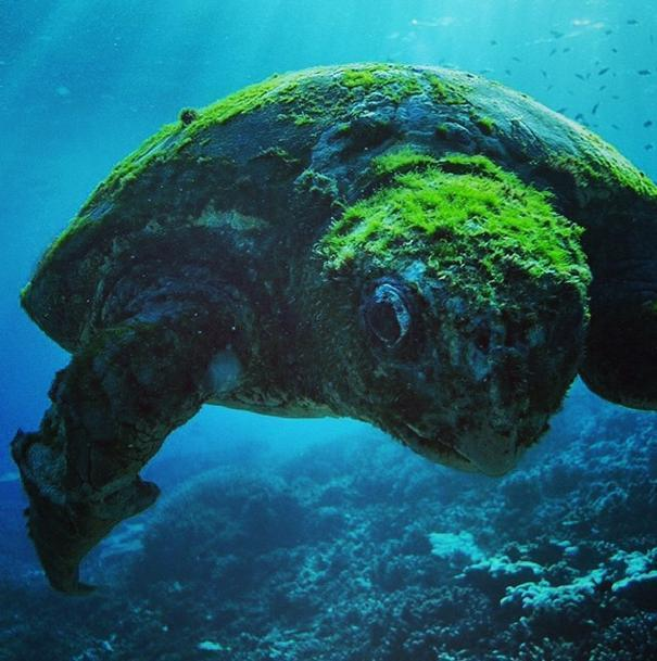 More than 100 years old turtle, Southern Great Barrier Reef, Queenslan