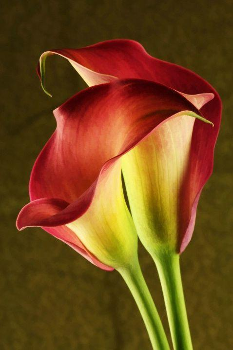 two red calla lilies by Leslie McLain