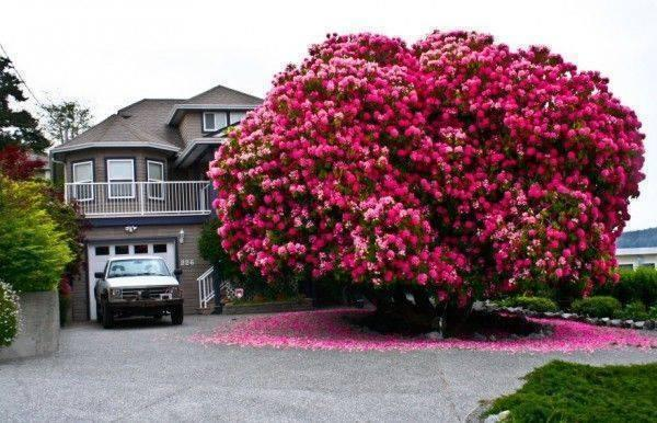 125 Year Old Rhododendron Tree in Canada