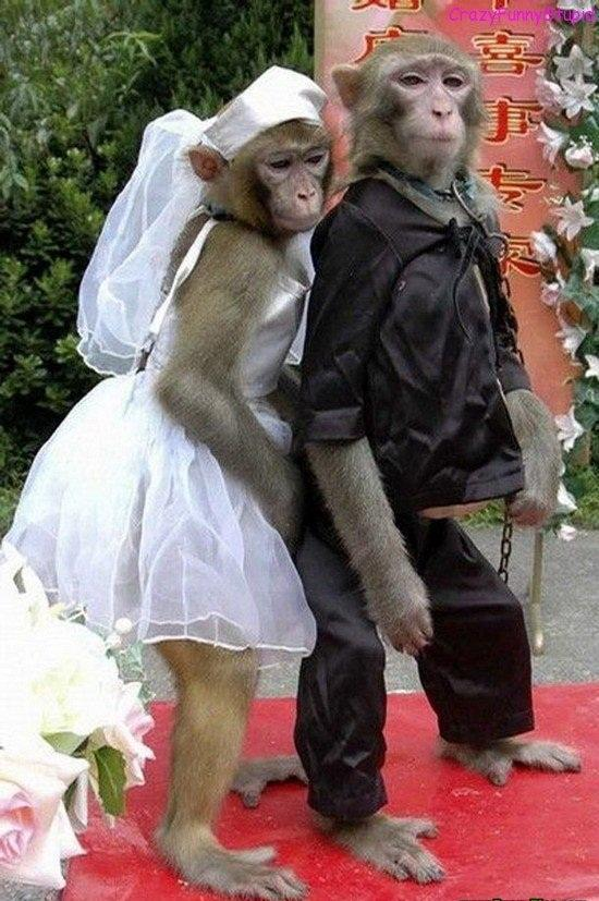 Crazy Funny Monkey Wedding