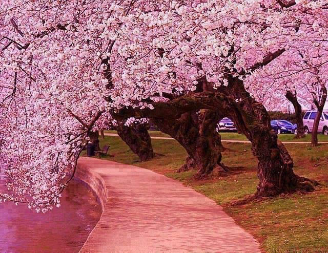 Japanese Cherry Trees along side the Jefferson Memorial Tidal Basin- W