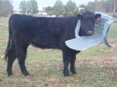 Just Wanted A Seat Cows arent smart