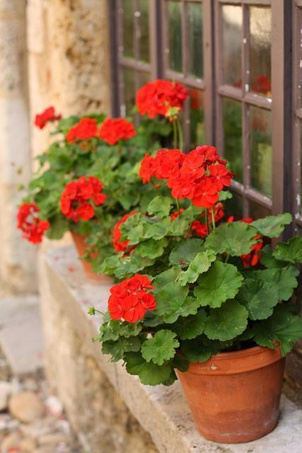 Windowsill Geraniums
