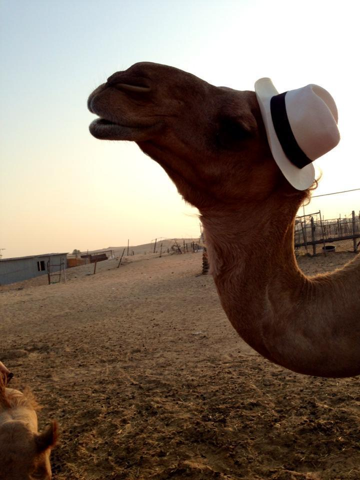 I put my hat on a camel.