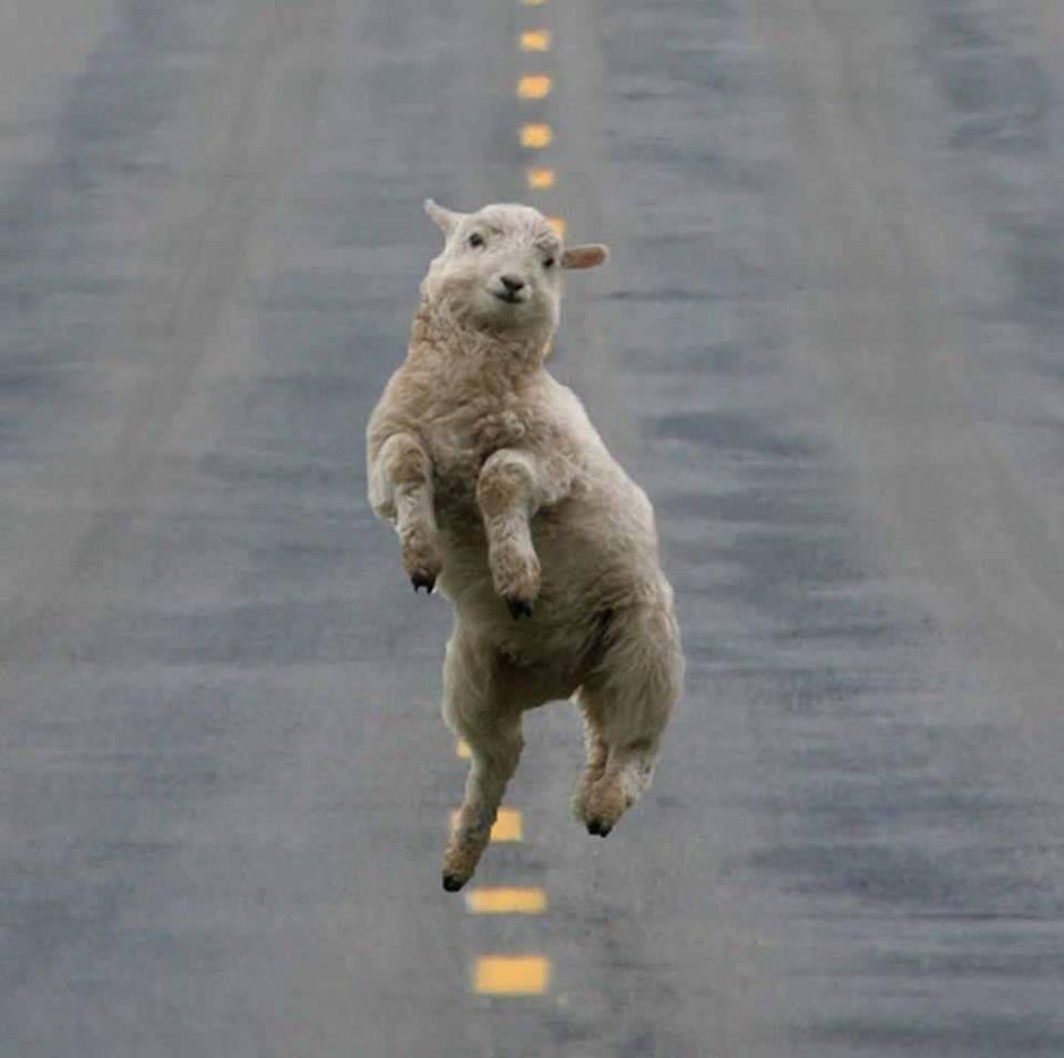 Funny Dancing Goat
