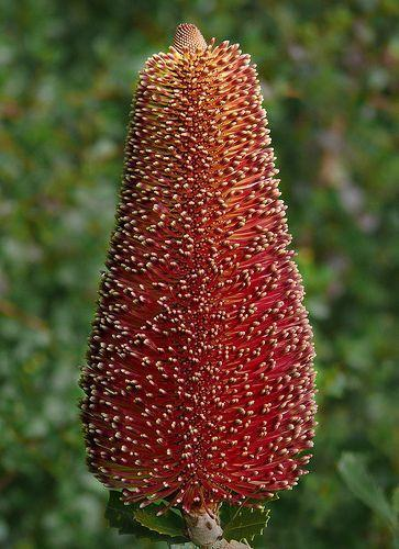 Banksia praemorsa, native to Australia
