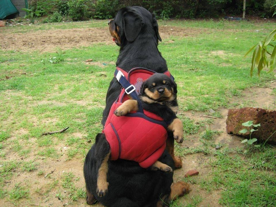 Cutest Rottweiler Puppy with mother