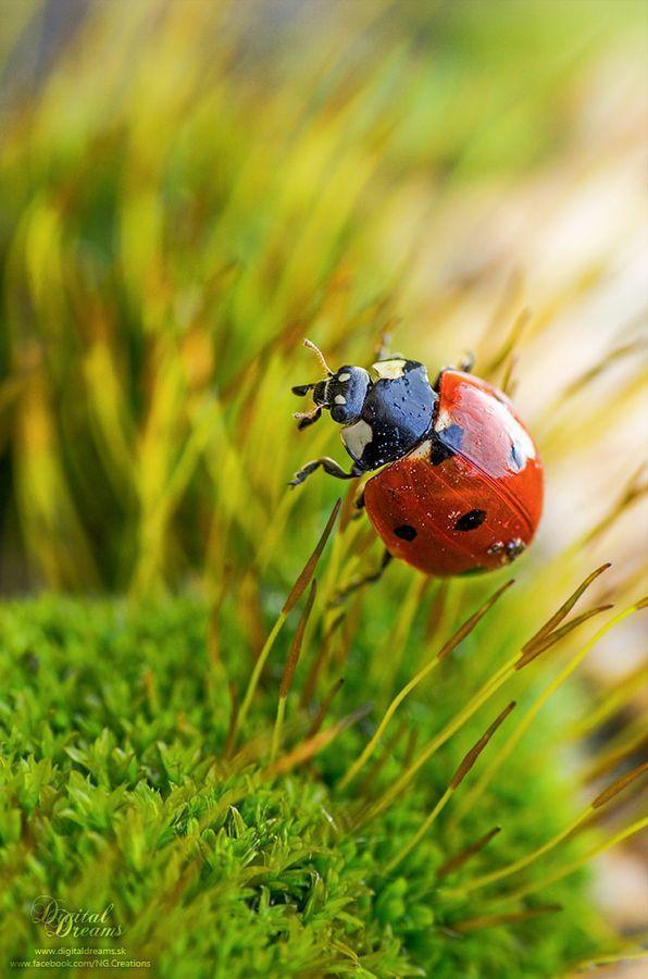 Ladybug by Norbert G
