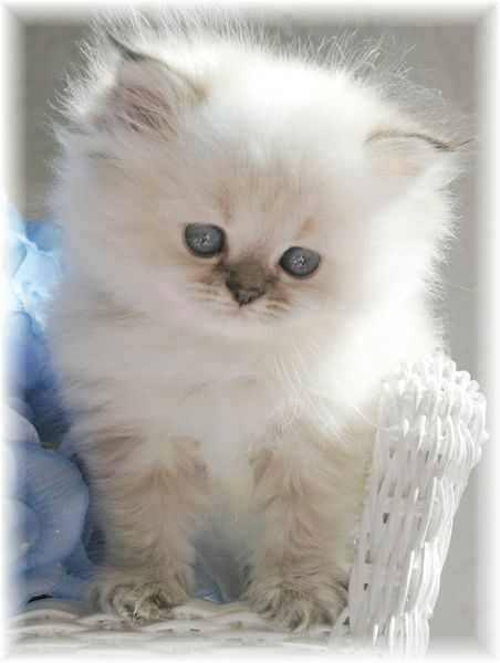 Sweet White Fluffy Kitten