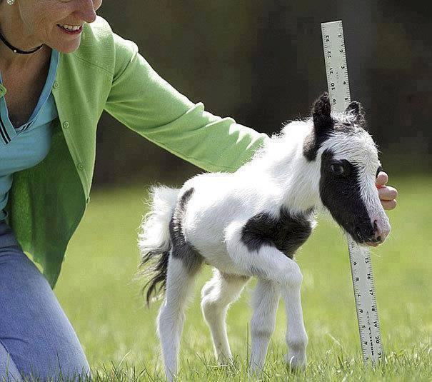 Einstein- The World's Smallest Horse!
