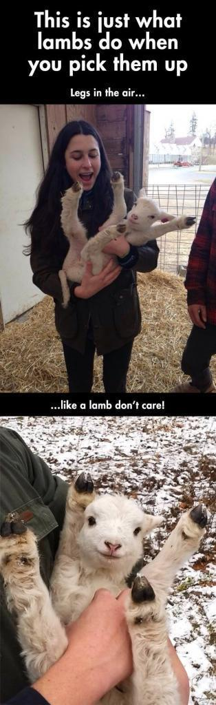 When you pick up a lamb