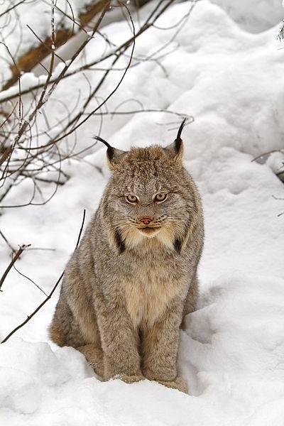 Canadian Lynx Amazing Photo
