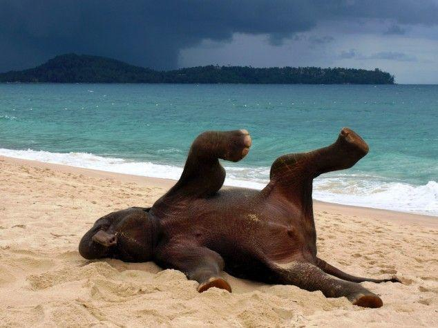 Young elephant playing on a beach in Phuket