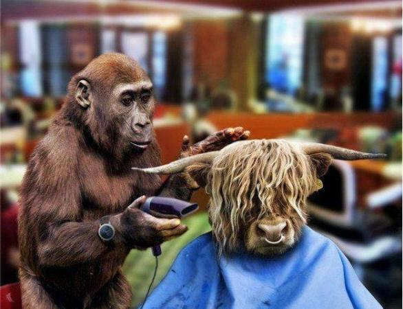 monkey hair cutting.