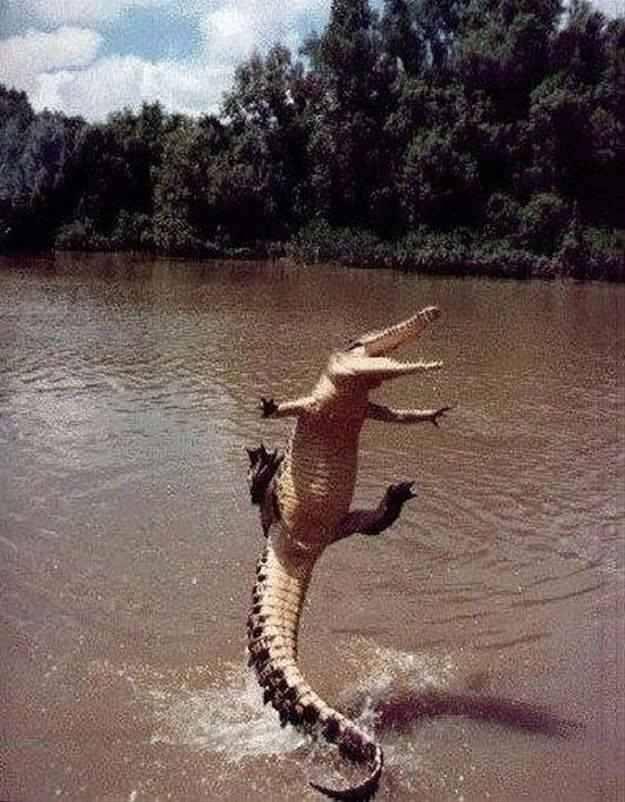 Funny Dancing Alligator