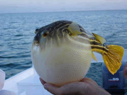 Puffer Fish Protecting himself