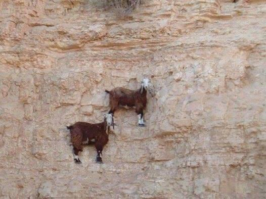 Goats on cliff of mountain