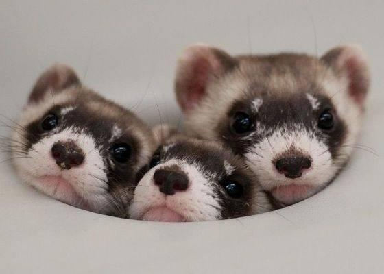 Adorable Ferret Babies