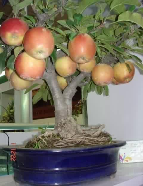 Apple tree in container - woody plants in containers