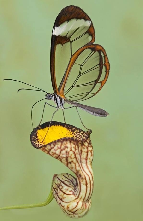 Glasswing Butterfly Photo