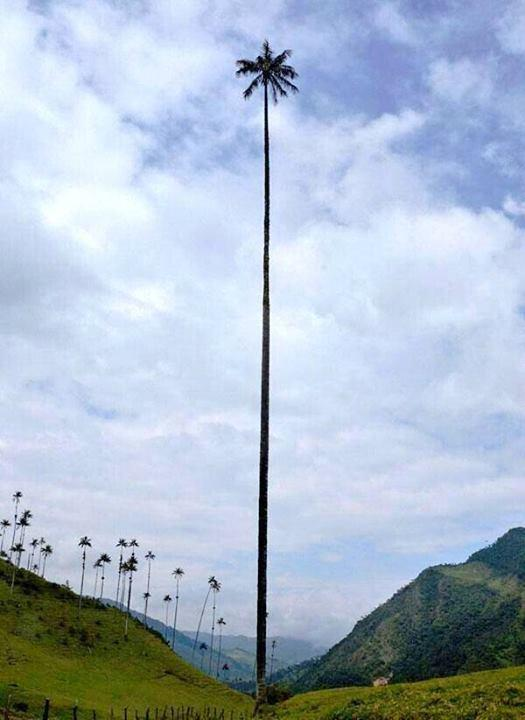 Wax Palm, is the tallest palm tree in the world