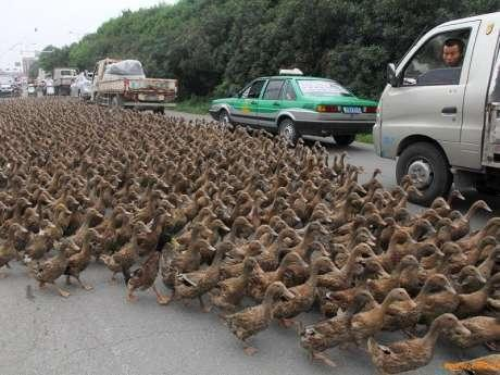 ducks are going on road